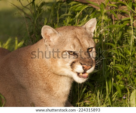 Cougar with Lip Curled into a Snarl - stock photo