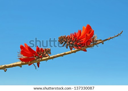Counterpart Coral flowers Erythrina caffra on a branch over background sky - stock photo