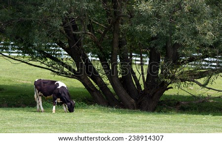Country Cow by Tree - stock photo