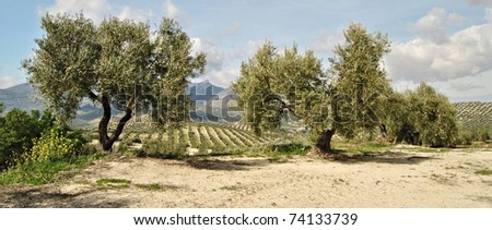 Country olive trees in Andalucia, Spain - stock photo