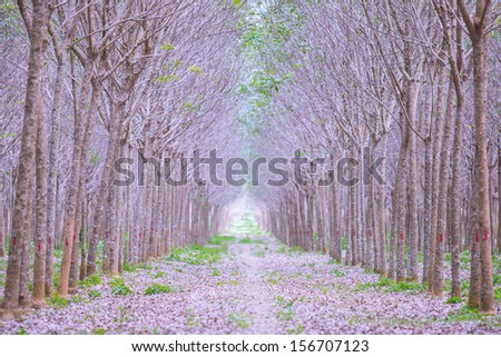 Country road, rubber tree at Phuket Thailand - stock photo
