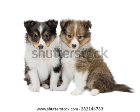 Couple beautiful sheltie puppies sitting  frontal and looking at camera. isolated on white background - stock photo