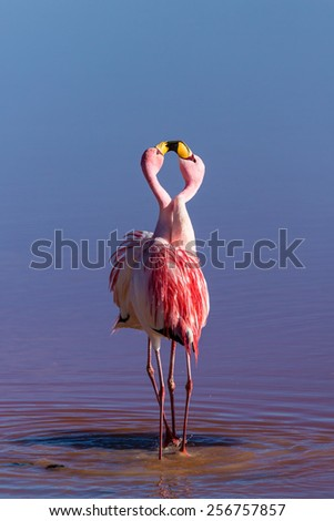 Couple flamingos, Bolivia - stock photo