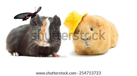 couple guinea pigs - stock photo