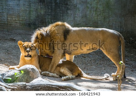 Couple lions. - stock photo