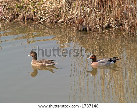 Couple of Anas penelope ducks in a water - stock photo