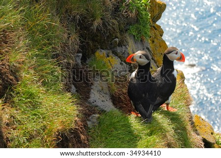 Couple of Atlantic Puffins. - stock photo