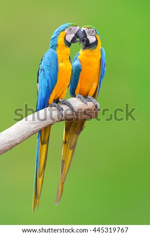 Couple of blue and gold macaw parrots isolated on green background - stock photo