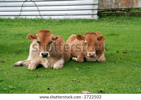 couple of bull-calf - stock photo