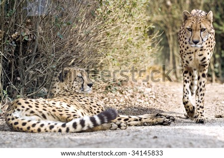 couple of cheetah in the bushes - stock photo