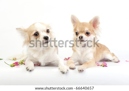 couple of chihuahua dogs lying on white background with rose petals - stock photo
