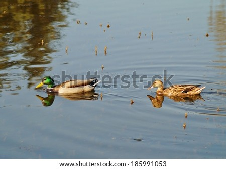 Couple of duck and drake are swimming in the pond  - stock photo