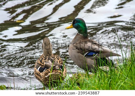 Couple of duck  in the lake  - stock photo