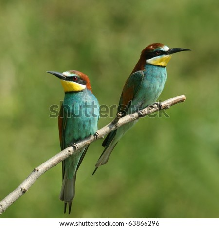 couple of european bee-eater alighted on a twig - stock photo