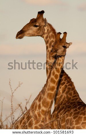 Couple of giraffe - stock photo