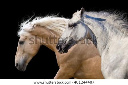 Couple of horses portrait run  isolated on black background - stock photo