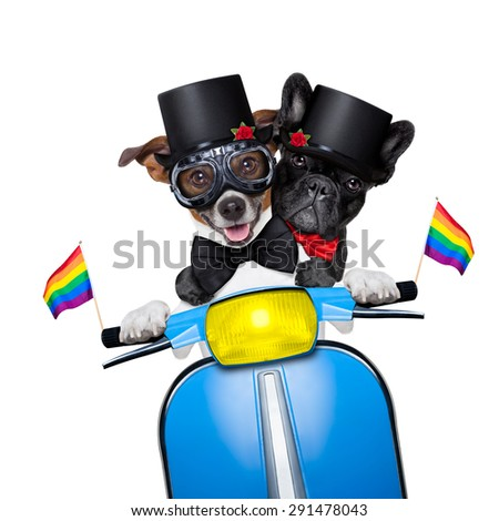 couple of just married gay  jack russell dogs of same sex and gender, driving a motorbike  just after the wedding, isolated on white background - stock photo