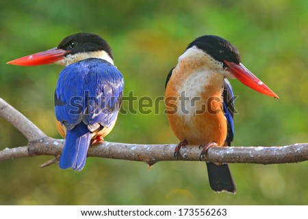 Couple of Kingfisher Bird (Black-capped Kingfisher) perching on a branch  - stock photo