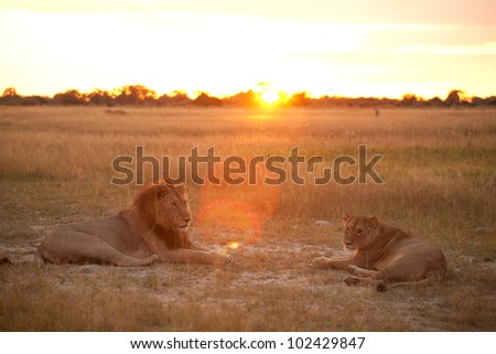 couple of lion - stock photo