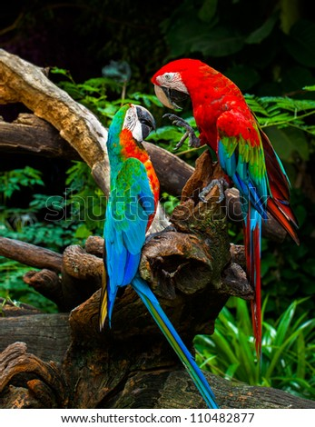 couple of macaw parrots kissing with love on wood branches in nature - stock photo