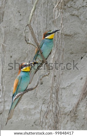 couple of Merops apiaster and prey (bumblebee) - stock photo