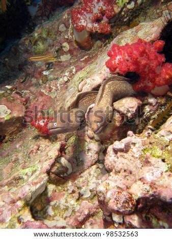 Couple of Moray eels, the cosmopolitan eels of the family Muraenidae. South Andaman Sea. - stock photo