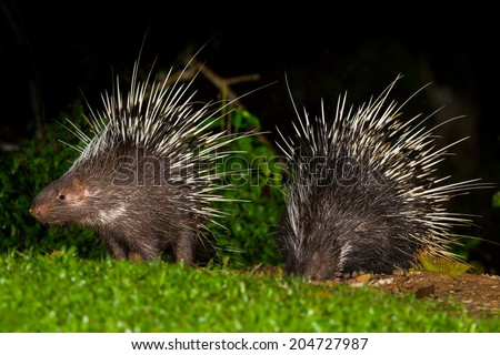 Couple of Nocturnal animals Malayan porcupine(Hystrix brachyura) in nature at Kaengkrajarn national park,Thailand - stock photo