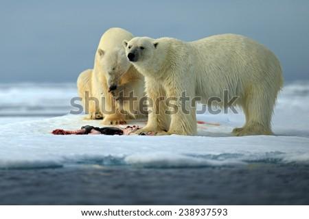 Couple of polar bears tearing hunted bloody seal skeleton in Arctic Svalbard - stock photo