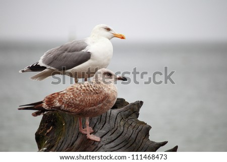 couple of seagulls sitting place outdoor nature - stock photo