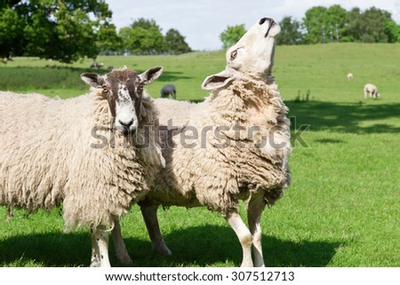 couple of sheep looking - stock photo