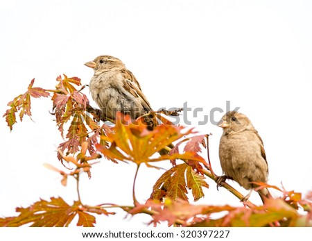 Couple of sparrow birds sitting on the twig of a tree. Focus on left bird. - stock photo