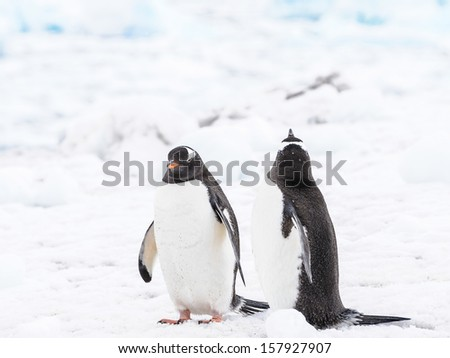 Couple of the Adelie Penguins (Pygoscelis adeliae) on the snow - stock photo