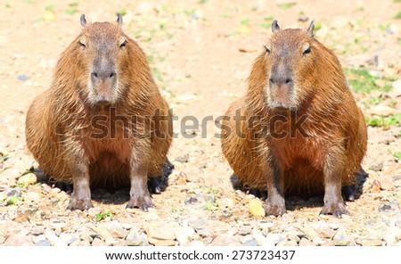 Couple of The Capybara  (Hydrochoerus hydrochaeris ), largest rodent in the world. - stock photo