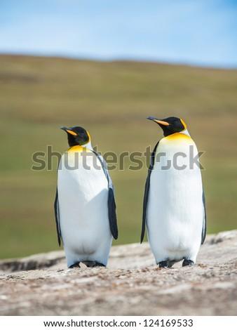 Couple of the KIng penguins.  Falkland Islands, South Atlantic Ocean, British Overseas Territory - stock photo