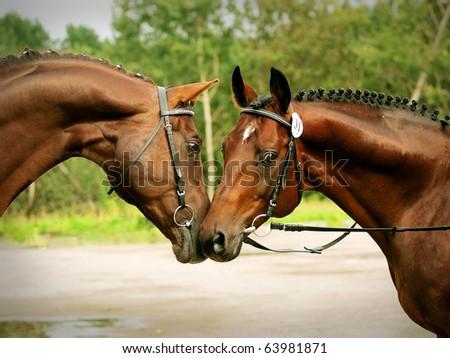 couple of trakenher stallions - stock photo