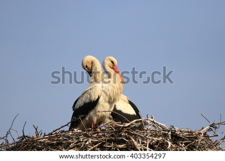 Couple of white storks on a nest against the blue sky have a rest in the spring under the sun - stock photo