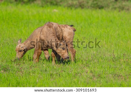 Couple of young buffalo in nature in Thailand - stock photo