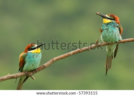 couple ot bee-eaters perched on a twig, in rain - stock photo