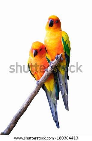 couple parrot isolated Male and Female - stock photo