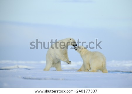 Couple polar bears fighting on drift ice with snow and blue sky in Arctic Svalbard - stock photo