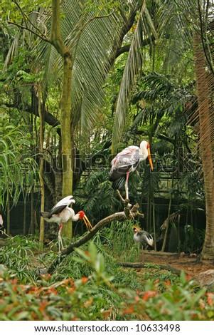 Couple Saddlebill stork - stock photo