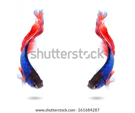 couple siamese fighting fish , betta isolated on white background. - stock photo