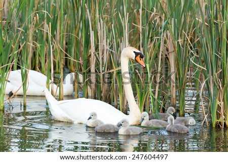 Couple white swans swimming with young cygnets between reed plants - stock photo