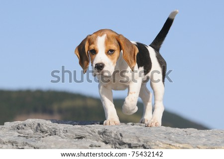 courageous small Beagle Puppy 3 months stands on the rocks - stock photo