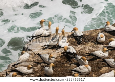 courting gannets on cliffs - stock photo
