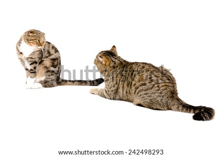 Courtship cats. Cat Scottish Straight is recognized in love cats Scottish Fold. - stock photo