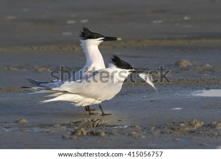 Courtship of Sandwich terns (Thalasseus sandvicensis) at the ocean beach, Galveston, Texas, USA. - stock photo