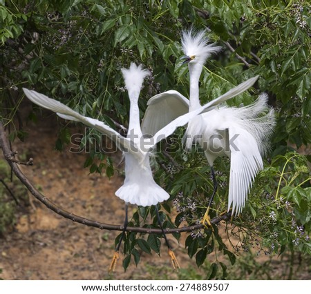 Courtship of snowy egrets (Egretta thula) at rookery, High Island, Texas, USA. - stock photo