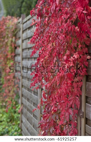 covered wooden fence during autumn. overgrown with wild vine ( Virginia Creeper) - stock photo