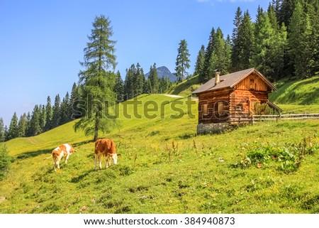 Cow, Alps,  - stock photo